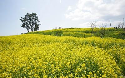 초양섬 유채밭과 삼천포대교_이미지