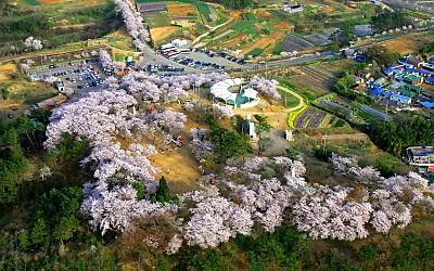 선진리성 벚꽃 사진_이미지